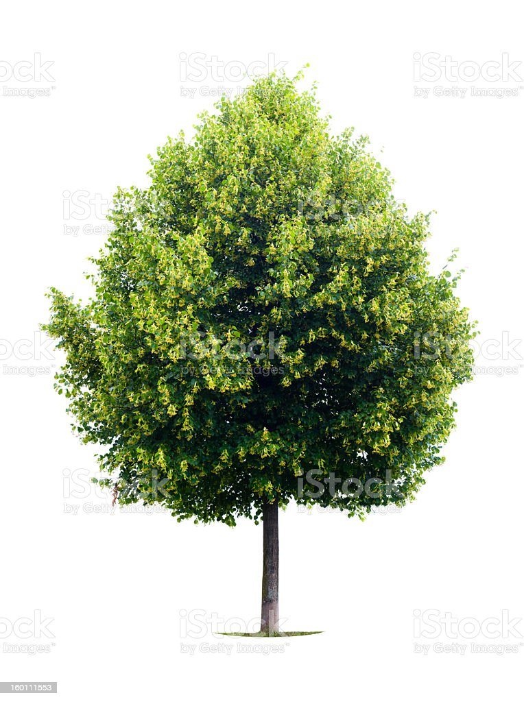 Green linden tree on a white backdrop royalty-free stock photo