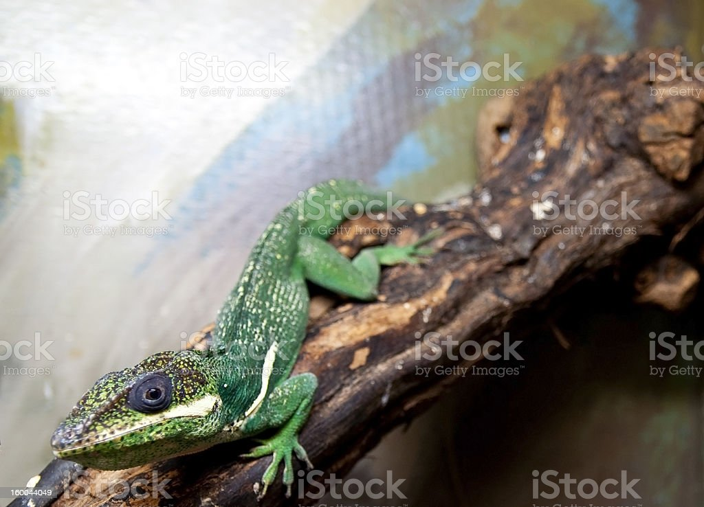 Green lizard close up royalty-free stock photo