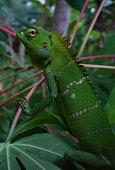 A green lizard crawling on a branch