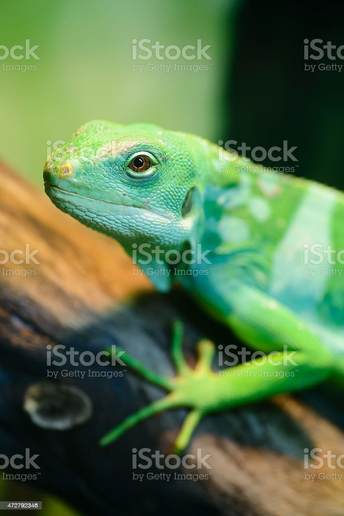 Green lizard, Fiji banded iguana royalty-free stock photo