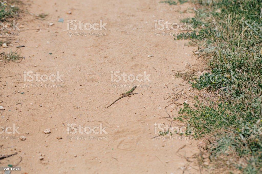 Green Lizard in the sand in the Fasano apulia Italy zbiór zdjęć royalty-free