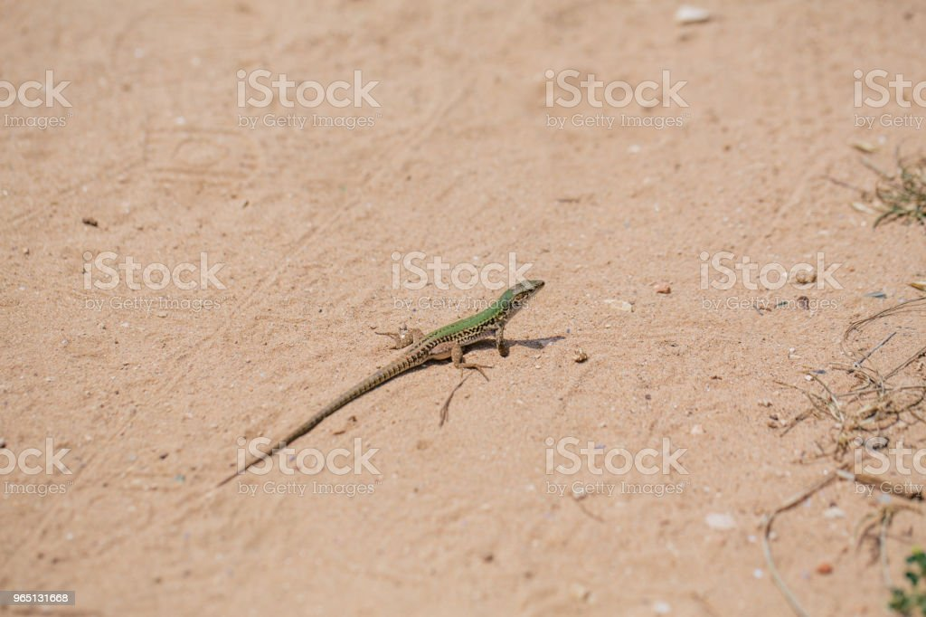 Green Lizard in the sand in the Fasano apulia Italy royalty-free stock photo