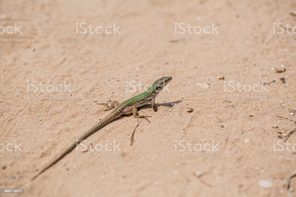 Green Lizard in the sand in the Fasano apulia Italy zbiór zdjęć royalty-free