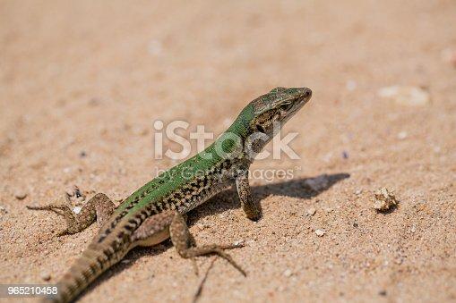 Lizard in the sand lizard, reptile, animal, sand, nature, brown tail vertebrate agilis lacerta