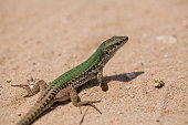 Lizard in the sand lizard, reptile, animal, sand, nature, brown tail vertebrate agilis lacerta