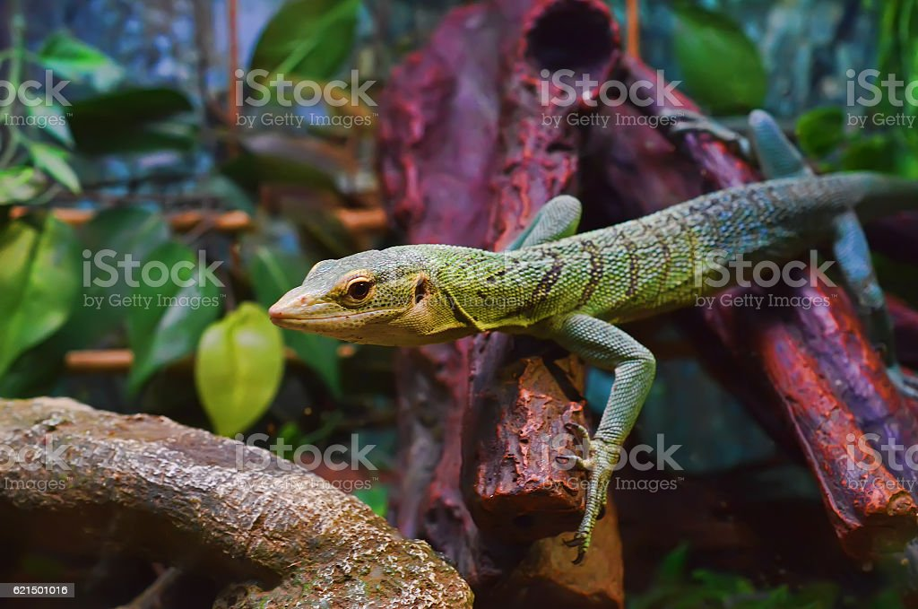 Green lizard in the terrarium. Lizenzfreies stock-foto