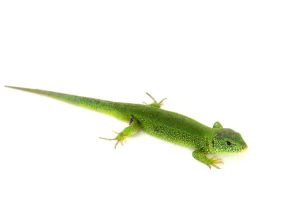lézard vert isolé sur fond blanc. - animaux familiers exotiques photos et images de collection