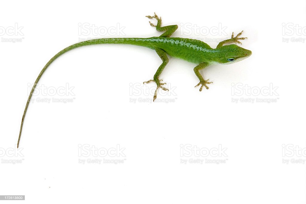 Green Lizard Isolated stock photo