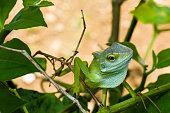 green lizard on a chili tree branch