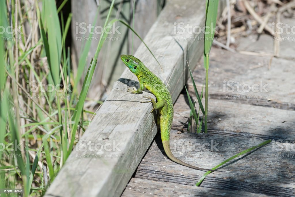 Lézard vert photo libre de droits
