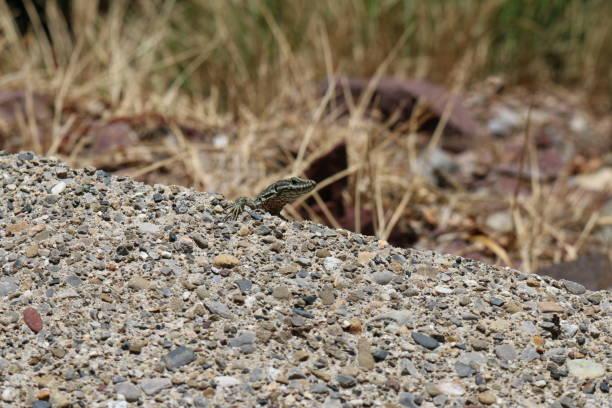 Green lizard - fotografia de stock