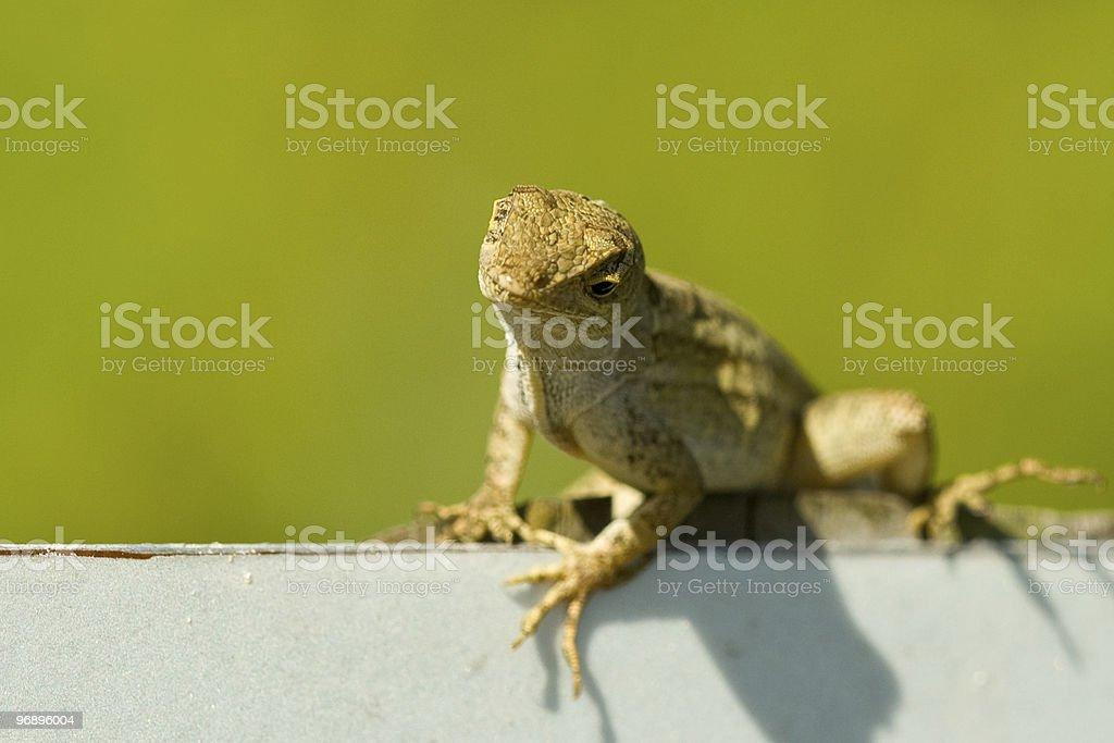 Green lizard royalty-free stock photo