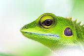 Brilliant green lizard