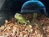 Green Lizard Portrait