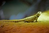 Green lizard sitting on the sand.