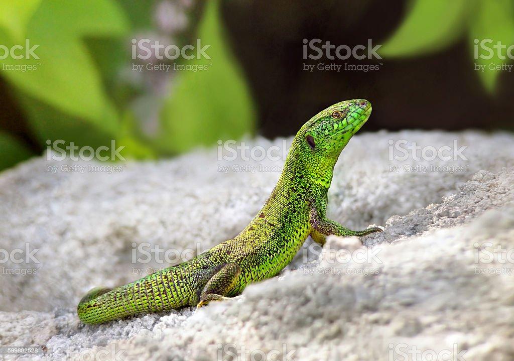 Green lizard sitting on the stones stock photo