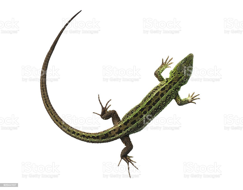 Green lizard with bowed tail stock photo