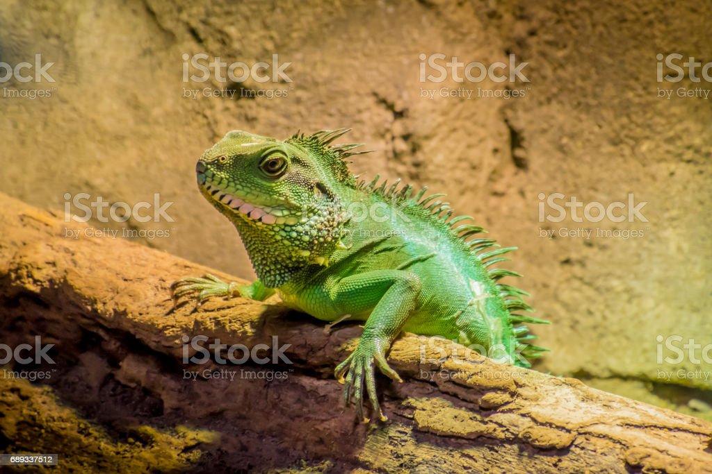 Grüne Eidechse Mit Spikes Chamäleon In Der Sonne Liegen Stock