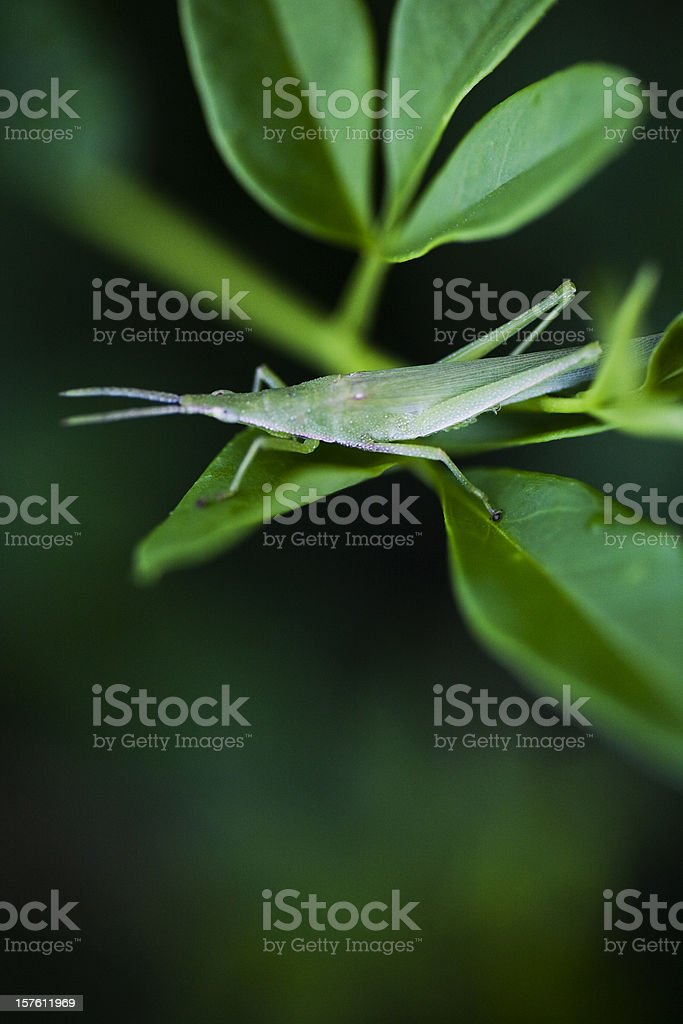 Green locust royalty-free stock photo