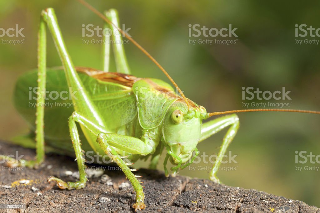 green locust stock photo