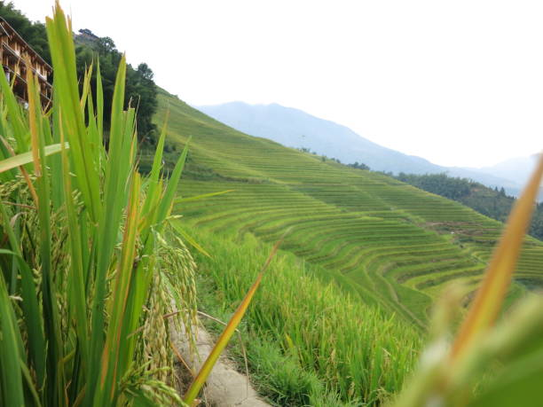 Green Longsheng Rice Fields stock photo