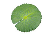 Lotus leaf isolated on white background with clipping path, Waterlily leaf