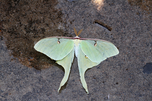 istock Green Luna Moth 536748567
