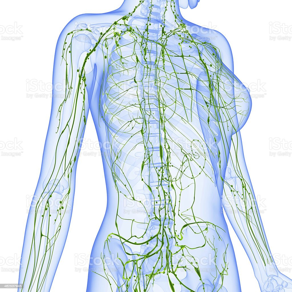Green Lymphatic System Of Blue Female On White Background Stock ...