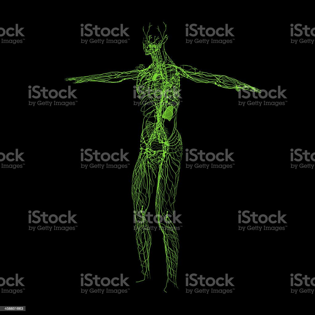 Green lymphatic system stock photo