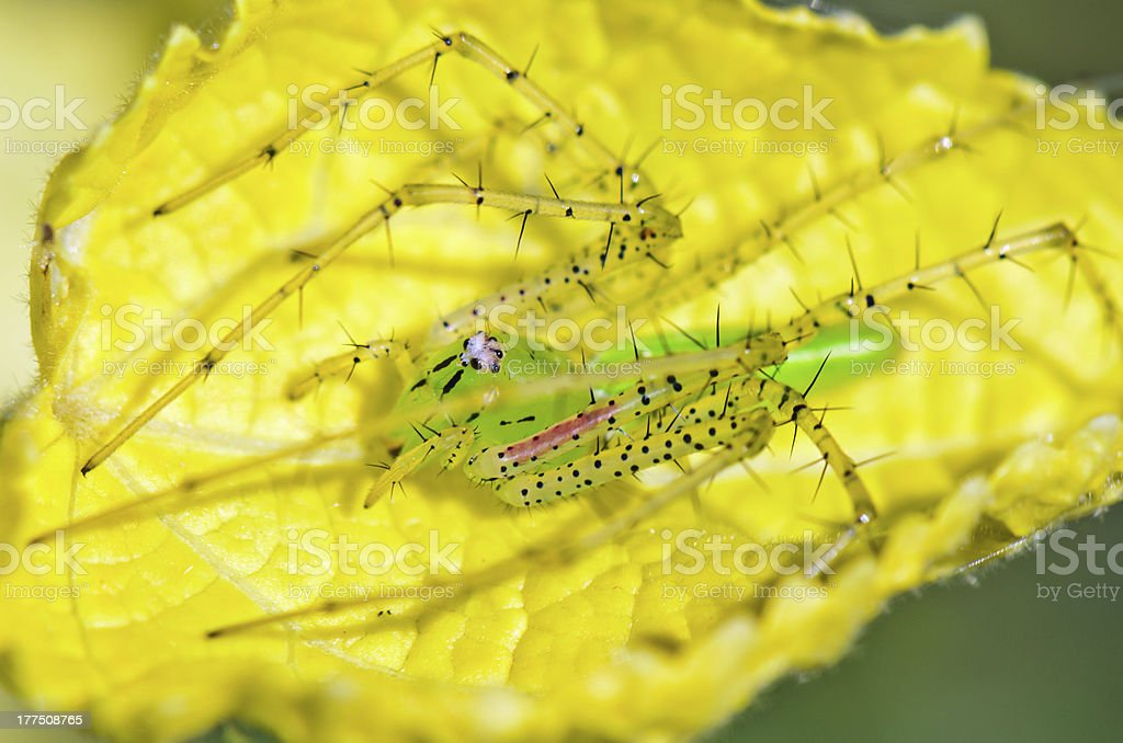 Green Lynx Spider, Peucetia viridans royalty-free stock photo