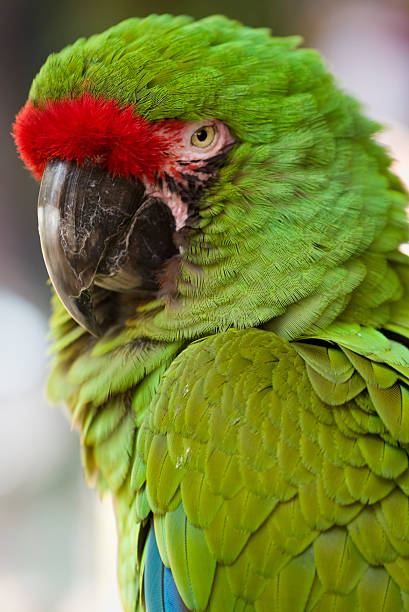 green macaw - green winged macaw stock photos and pictures