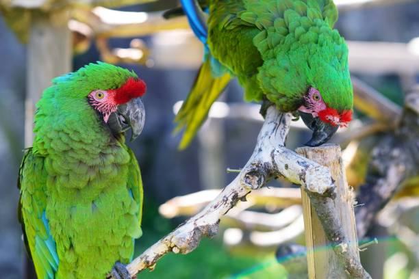 aras verts - animaux familiers exotiques photos et images de collection