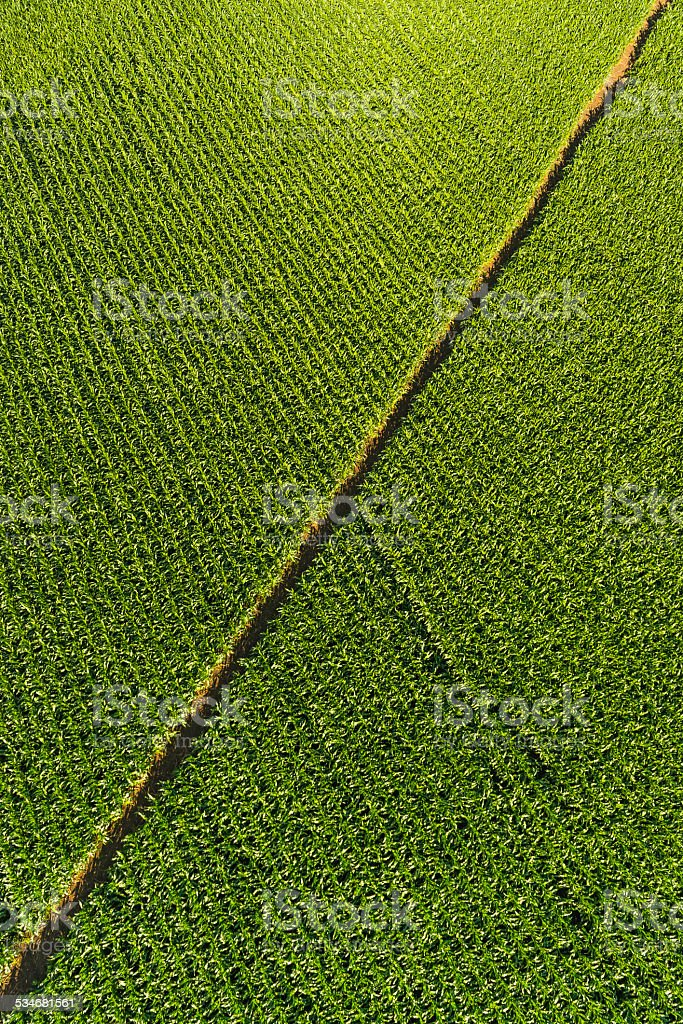 Green Maize Corn Crop Growing In Farm Field Aerial View