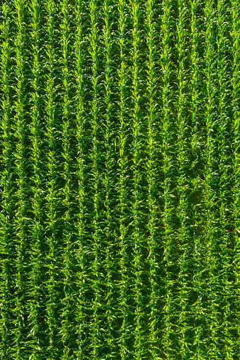 Green Maize Corn Farm Crop Rows Aerial View Agriculture