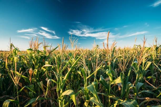 Green Maize Corn Field Plantation In Summer Agricultural Season. Skyline Horizon, Blue Sky Background stock photo