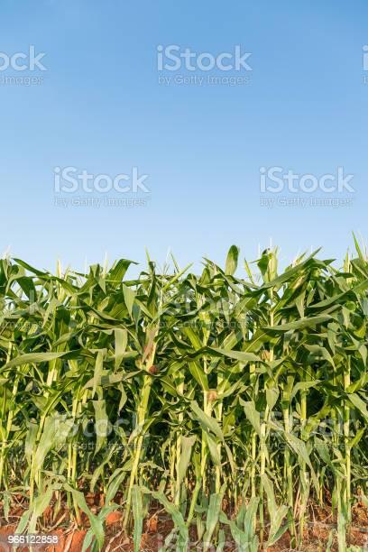 Green Maize Corn Field Plantation — стоковые фотографии и другие картинки Без людей