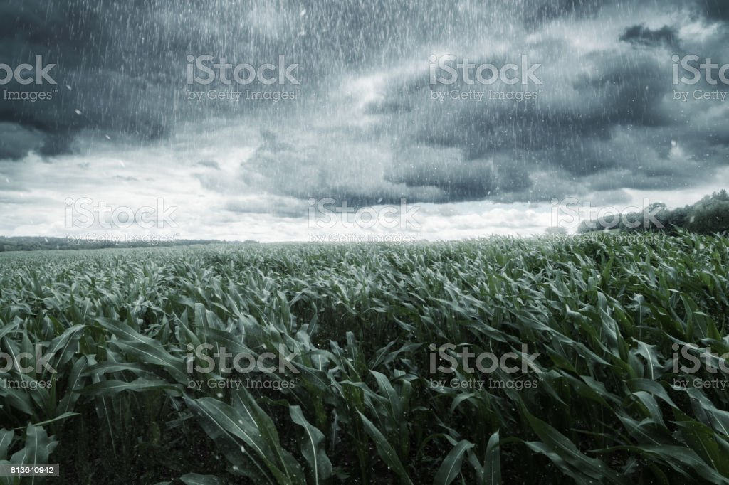 green maize field in front of dramatic clouds and rain - foto stock