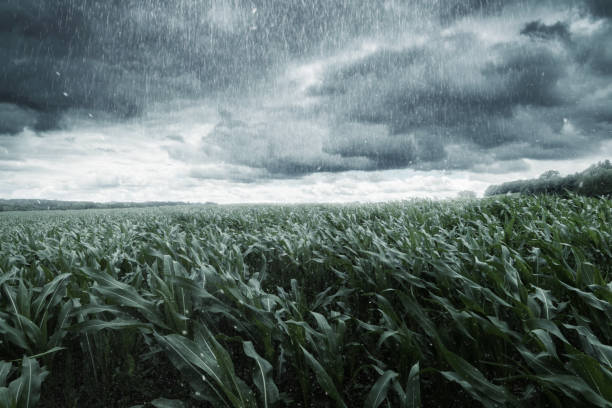 green maize field in front of dramatic clouds and rain stock photo