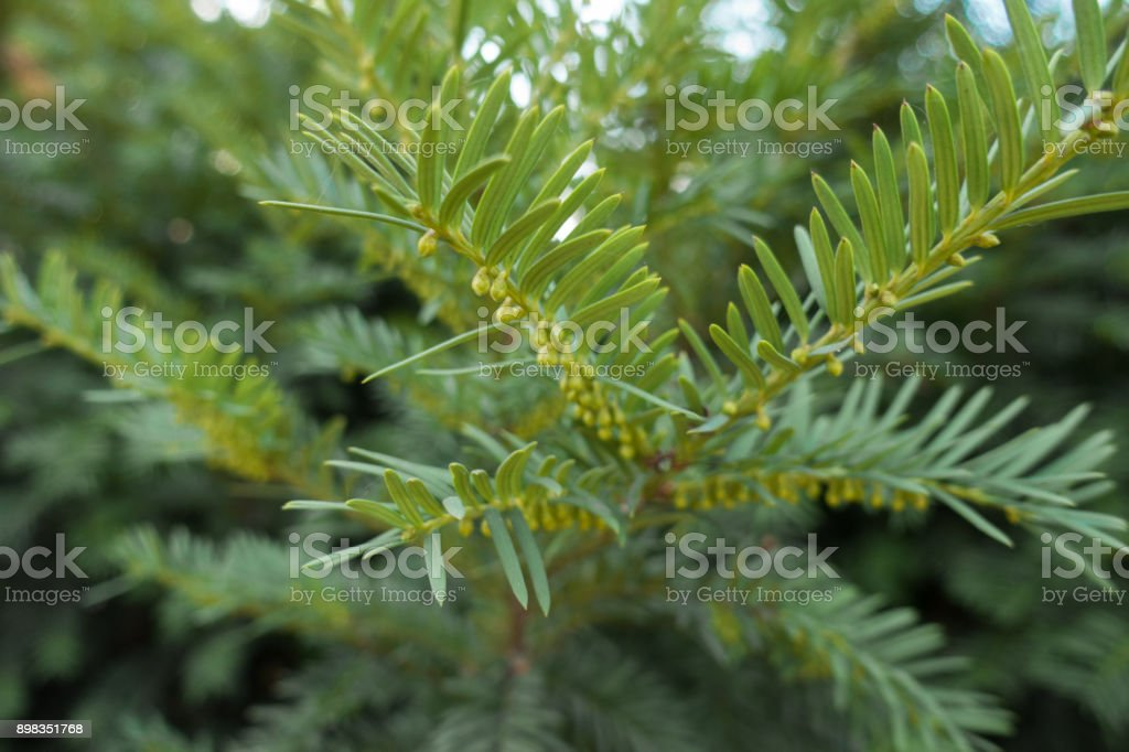 Green male cones of yew in autumn stock photo