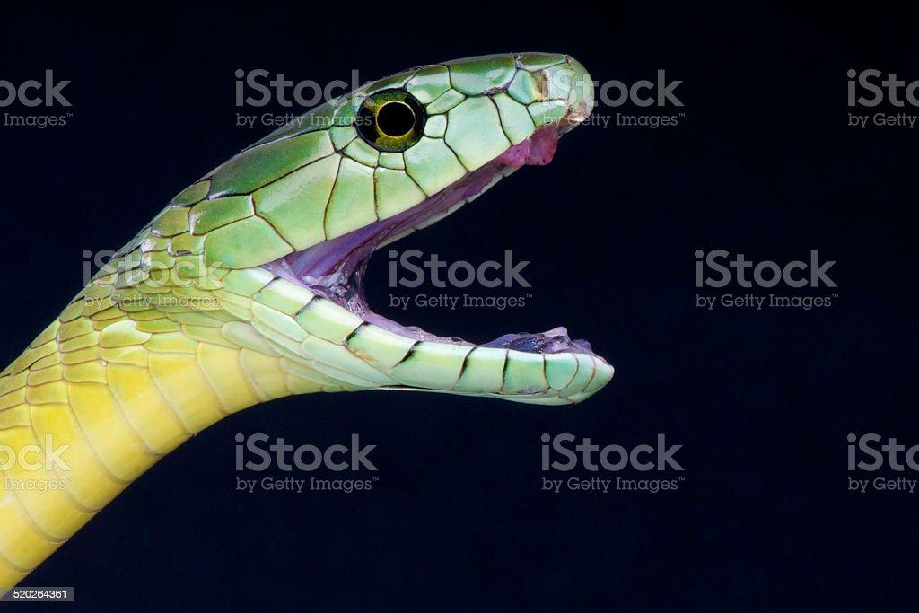 Green mamba attack / Dendroaspis jamesoni kaimosae stock photo
