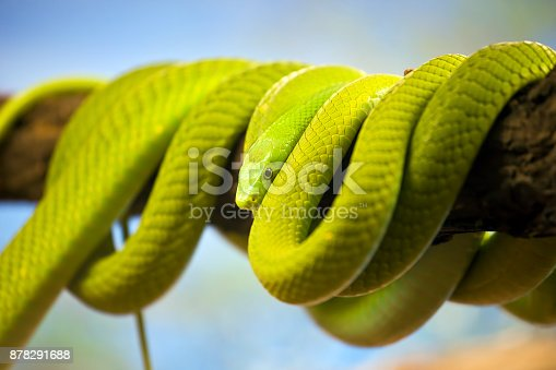 Green Mamba (Dendroaspis) poisonous arboreal snake coiled up on a branch.