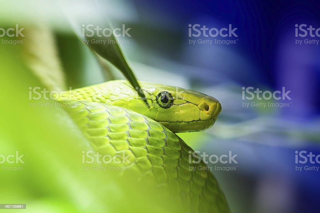 Green Mamba - Colorful stock photo
