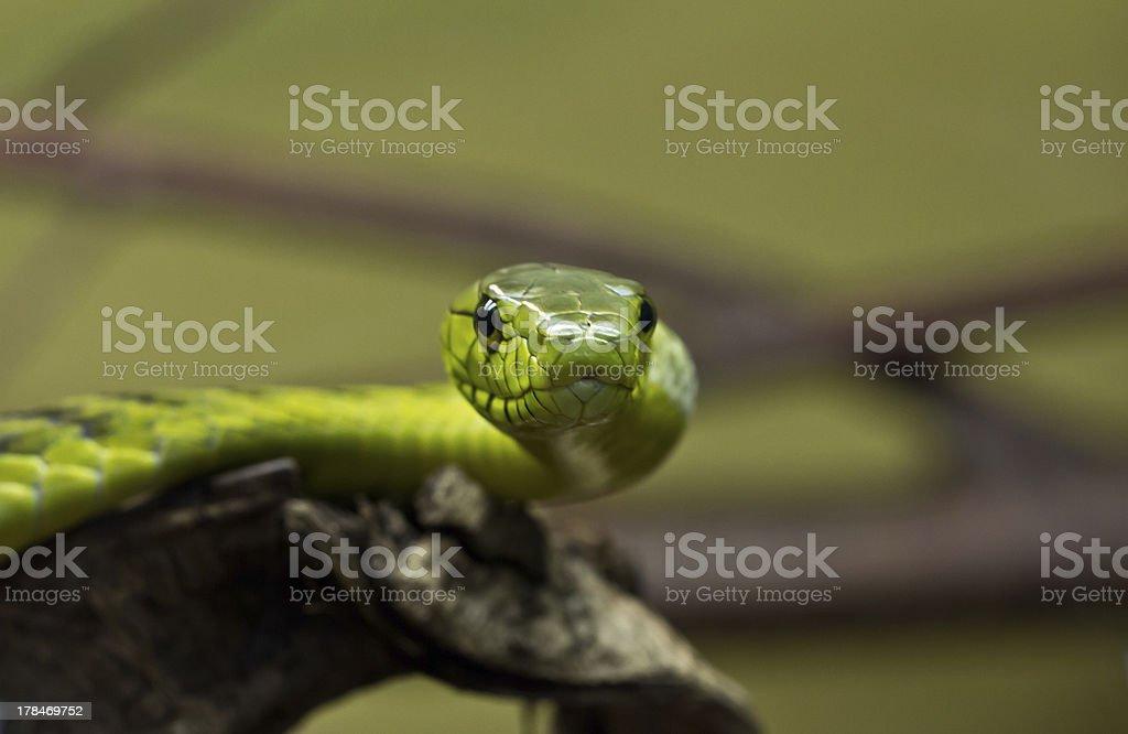 Green Mamba / Dendroaspis Viridis stock photo