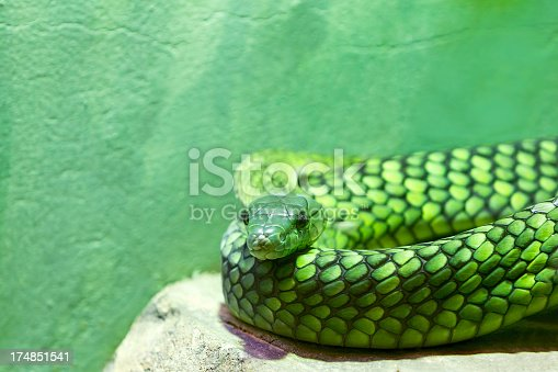 Green Mamba looking at camera