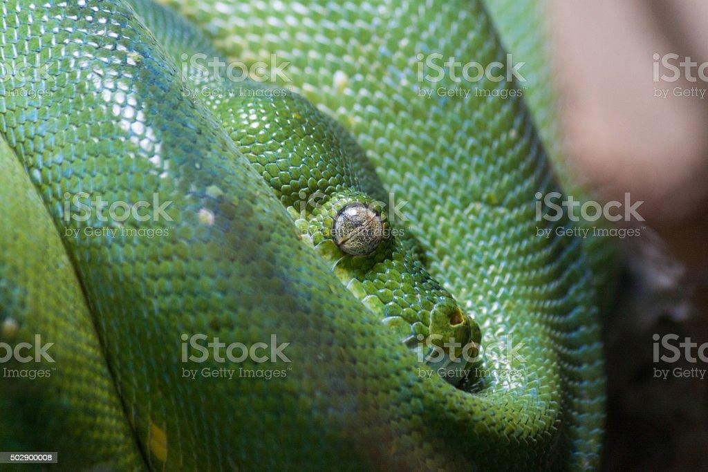 green mamba stock photo
