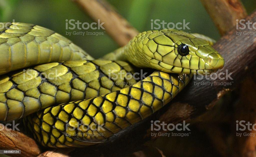 Green Mamba The Green Mamba (Dendroaspis viridis), a venomous snake native to the jungles of Africa. Africa Stock Photo