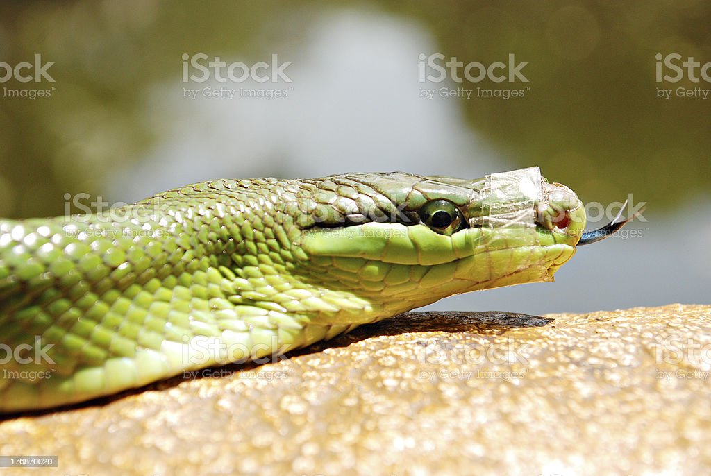 Green Mamba Snake With a Taped Mouth royalty-free stock photo
