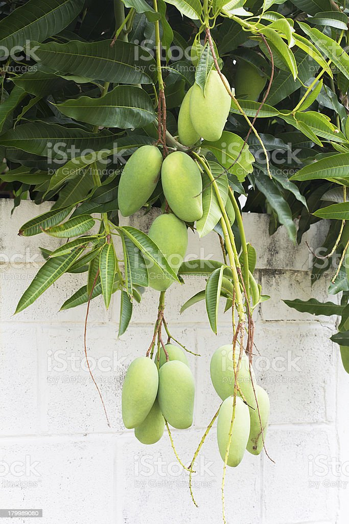 Green mango on the tree royalty-free stock photo