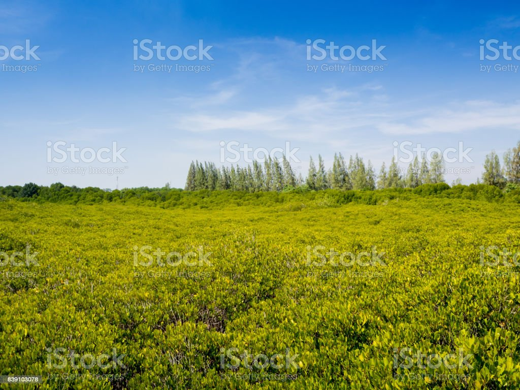 Green mangrove field with clearly blue sky stock photo