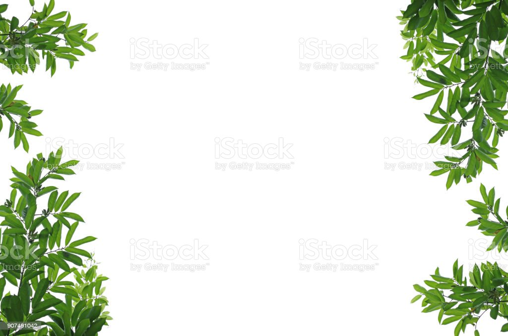 Green manorangini leaves frame isolated on white background. stock photo